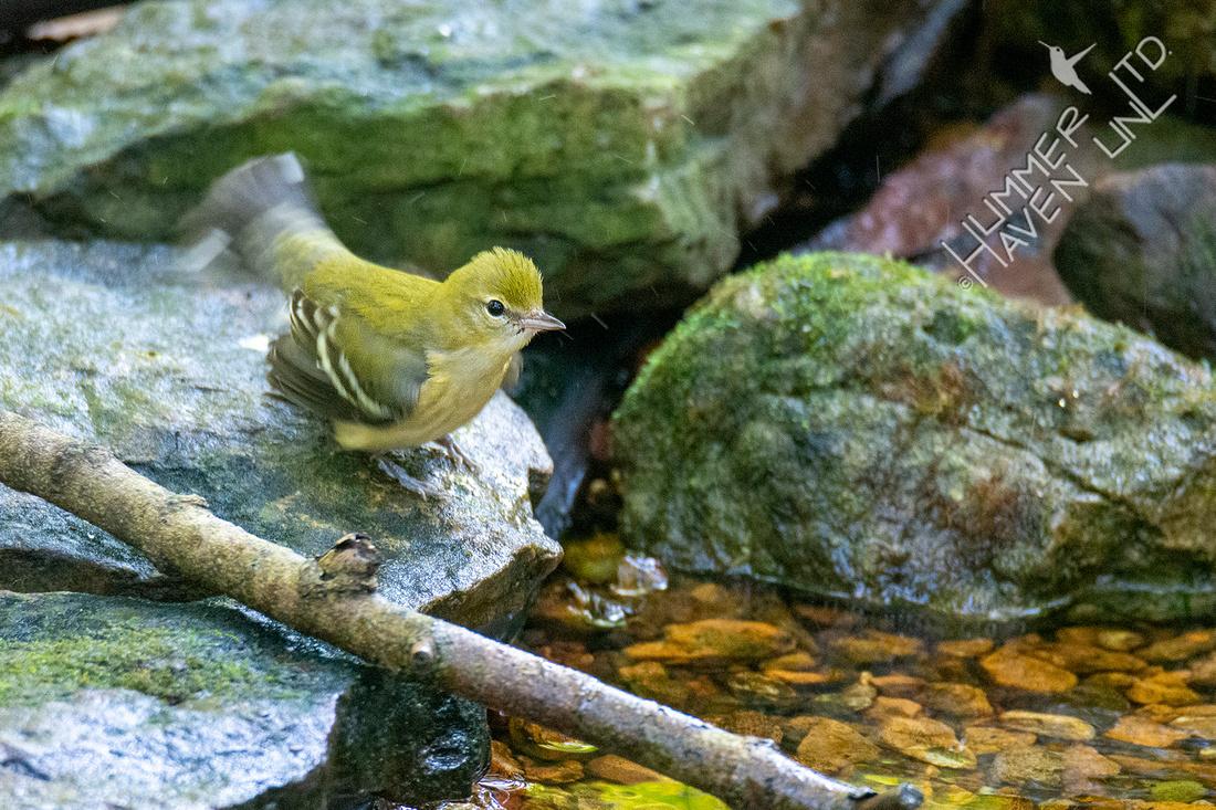 10-3-21 Bay-breasted Warbler