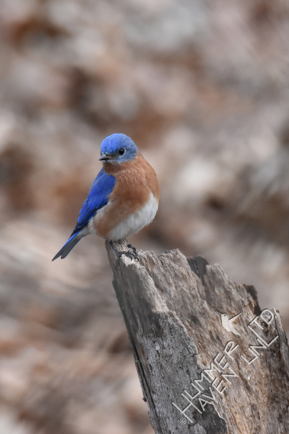 Eastern Bluebird 2-14-19