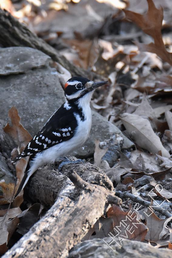 Hairy Woodpecker 2-25-19