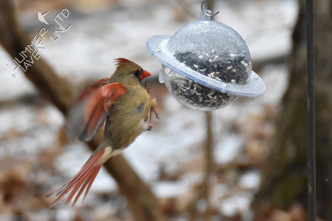 Northern Cardinal female 2-28-19