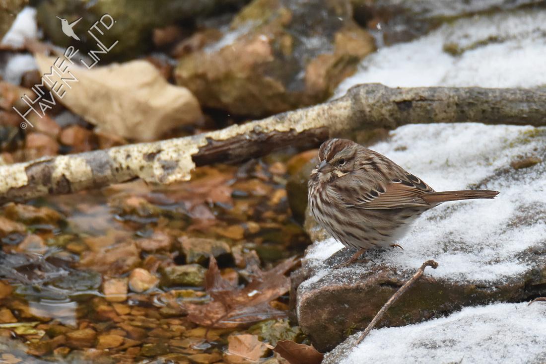 Song Sparrow 2-28-19