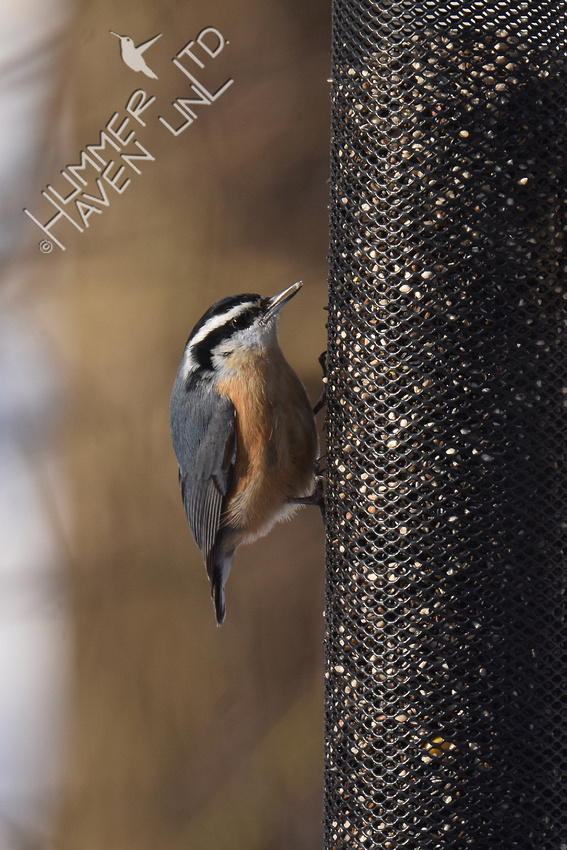 Red-breasted Nuthatch 3-4-19