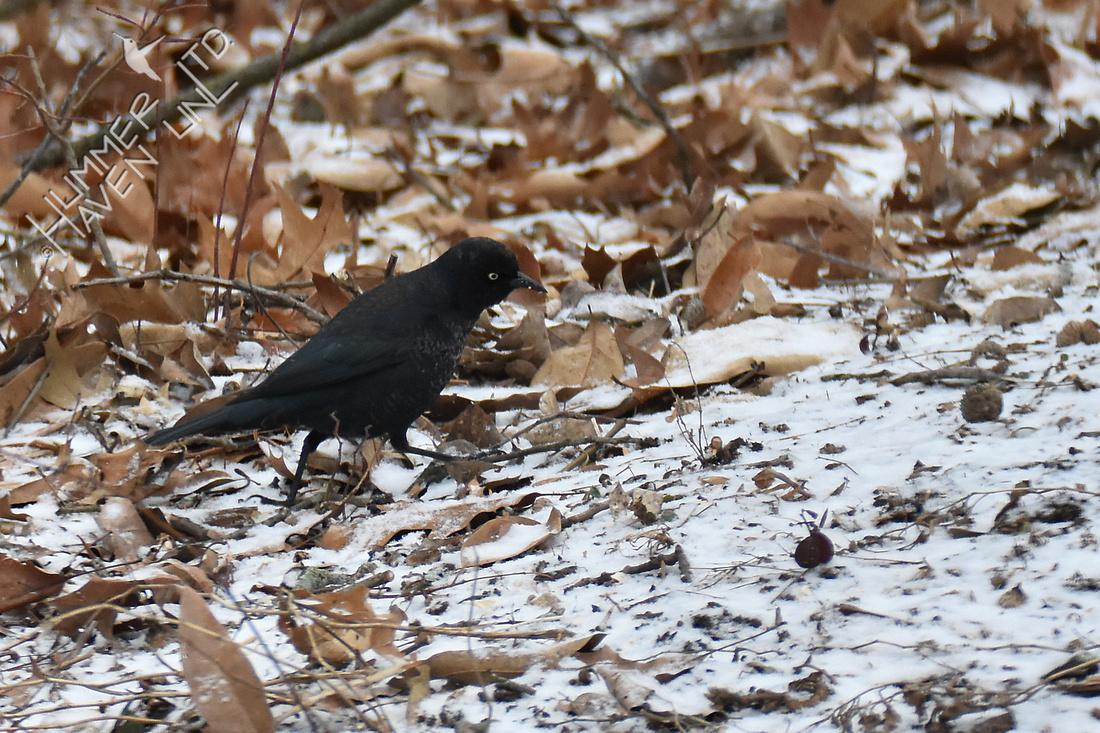 Rusty Blackbird 2-28-19