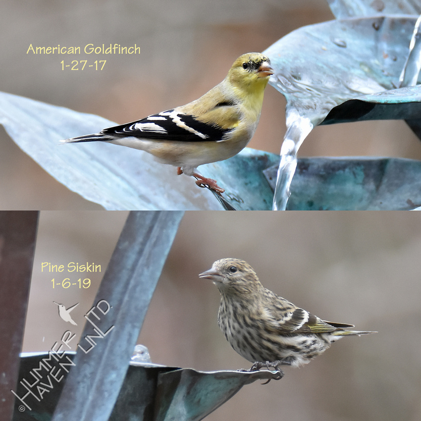 American Goldfinch and Pine Siskin