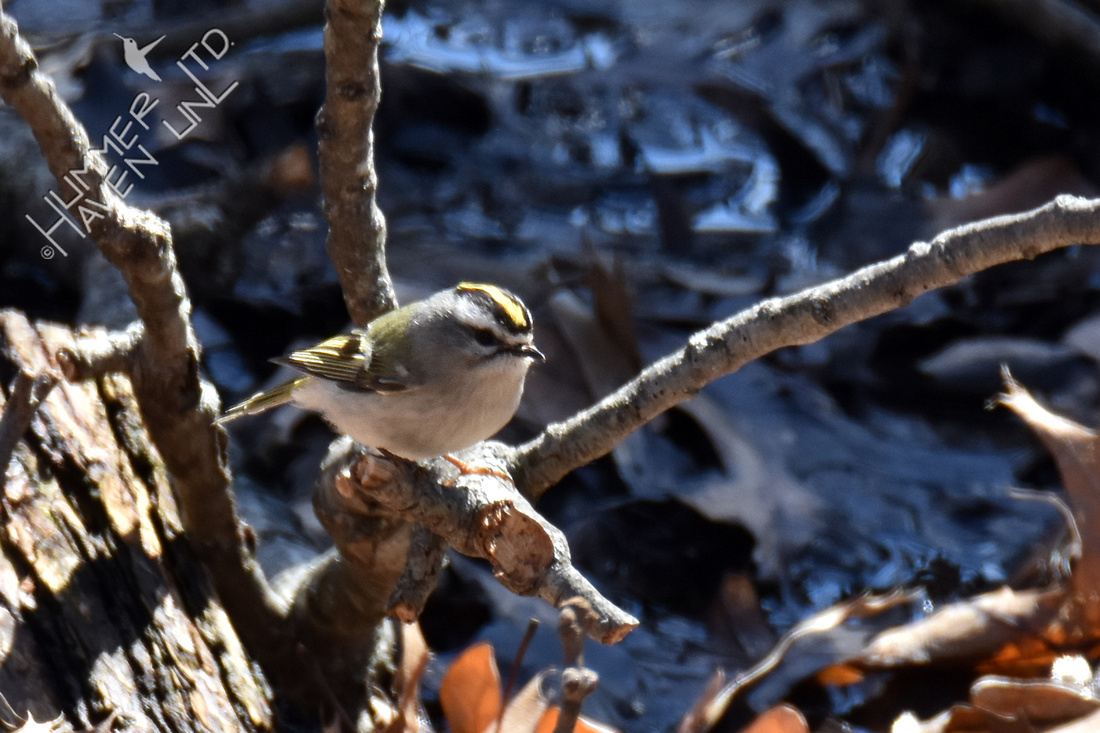 FOY Golden-crowned Kinglet near sump puddle 3-17-19