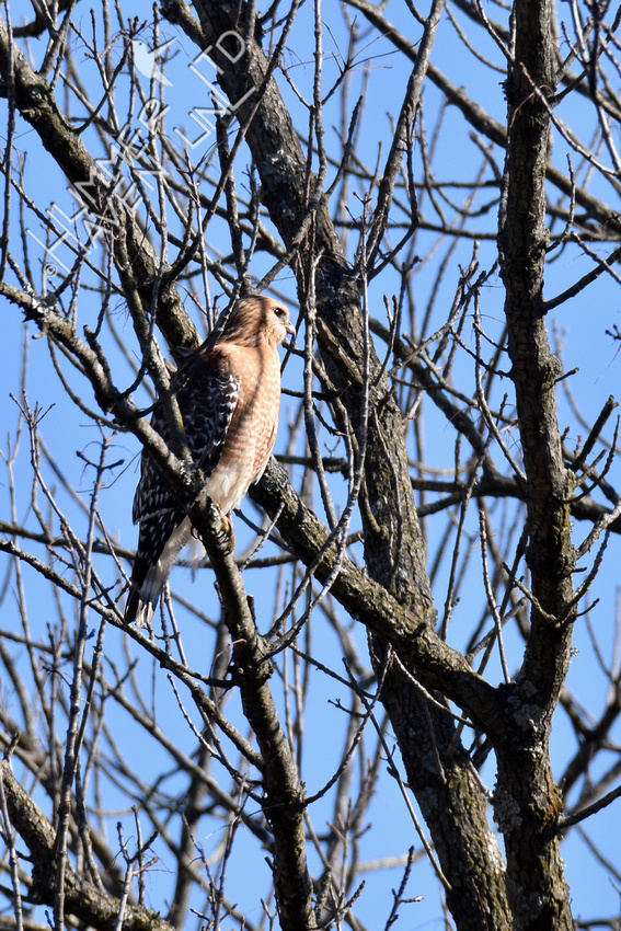 Red-shouldered Hawk male 3-16-19