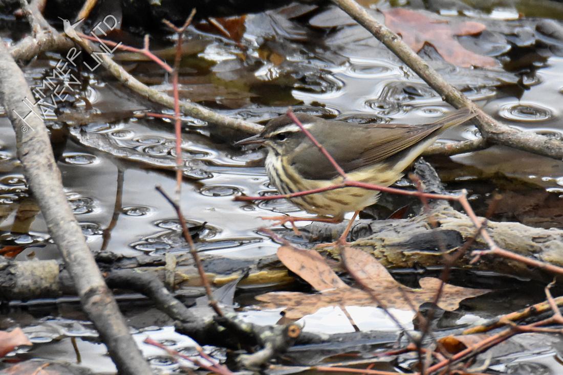 FOY Louisiana Waterthrush 3-29-19