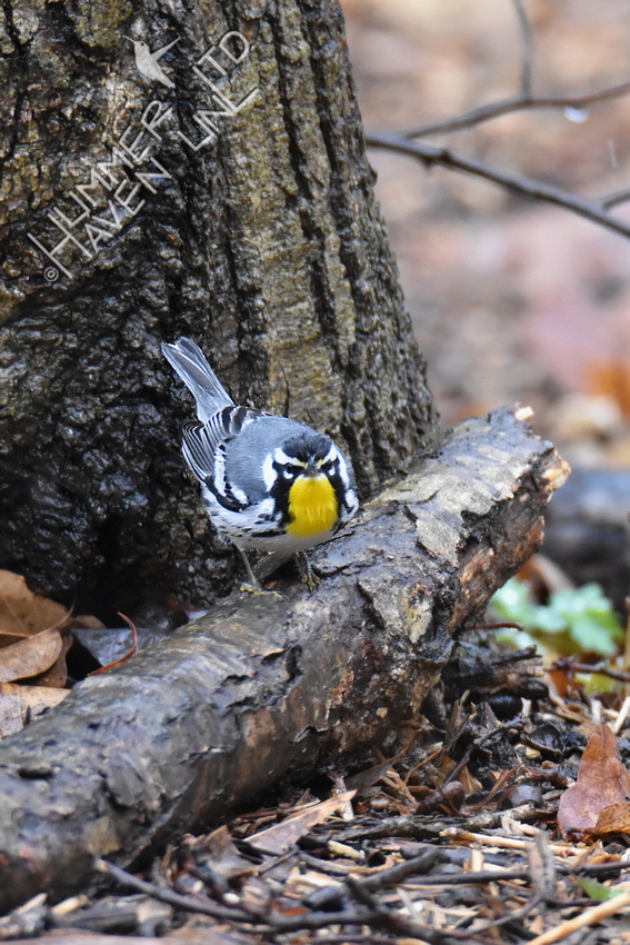 FOY Yellow-throated Warbler 3-30-19