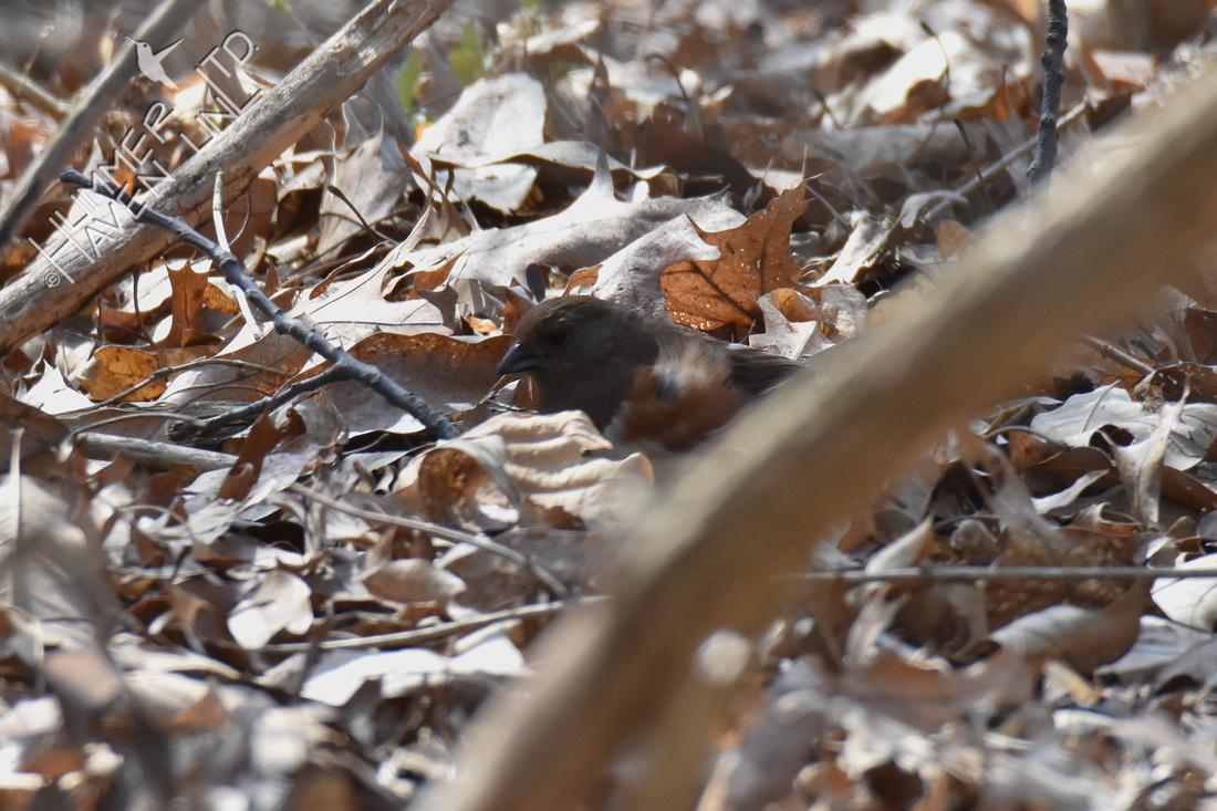 Eastern Towhee female 4-3-19
