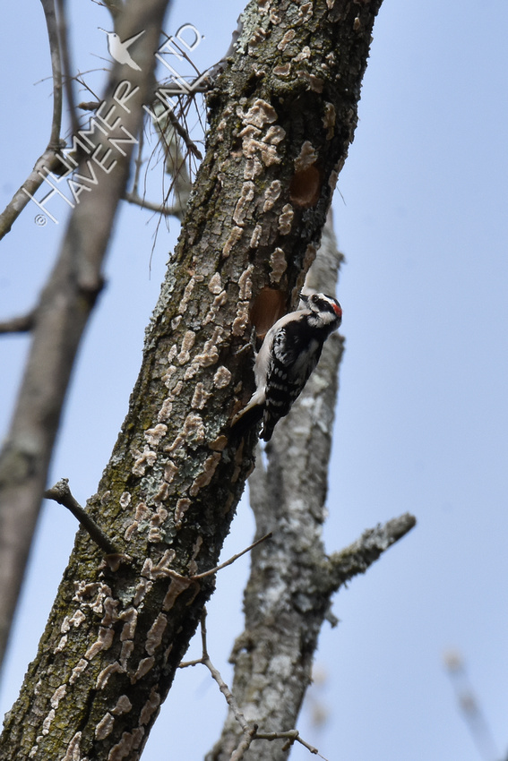 Downy Woodpecker at nest hole in Green Ash 4-8-19