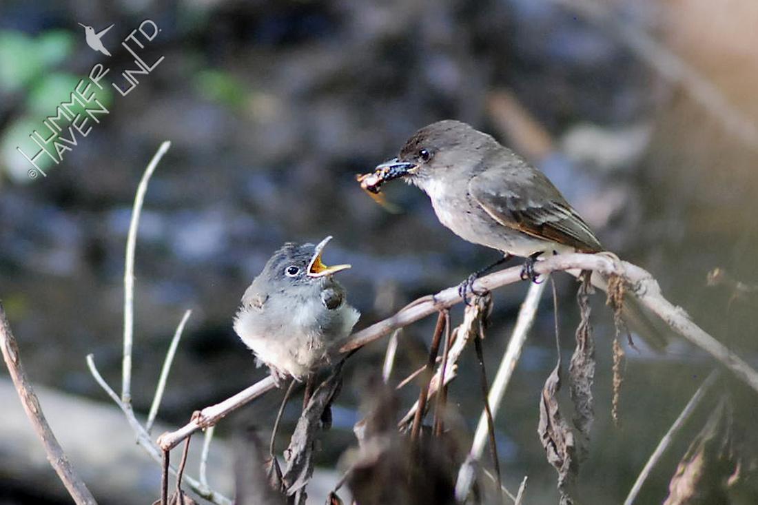 5-25-10 Eastern Phoebe feeding fledgling