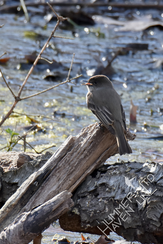 Eastern Phoebe calls to mate 4-9-19