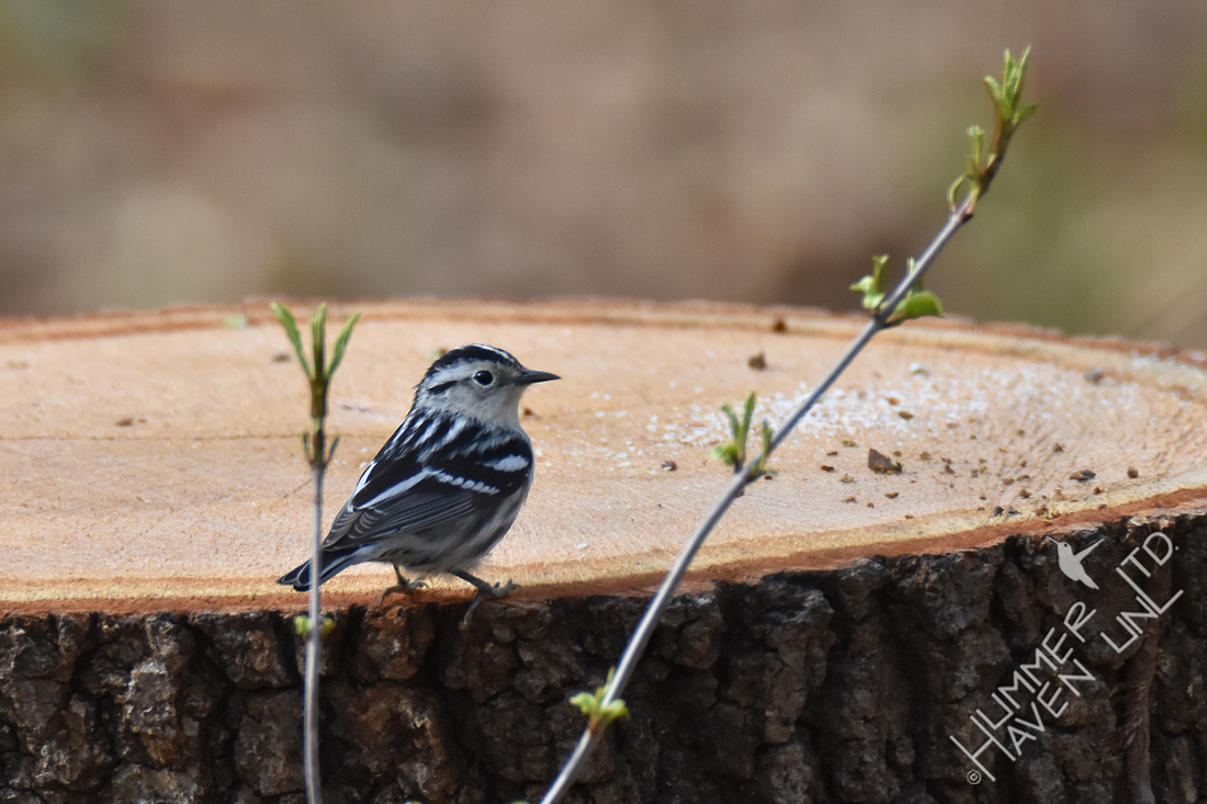 FOY Black-and-white Warbler female 4-10-19