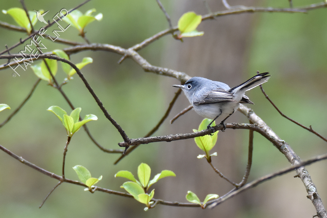 Blue-gray Gnatcatcher 4-11-19