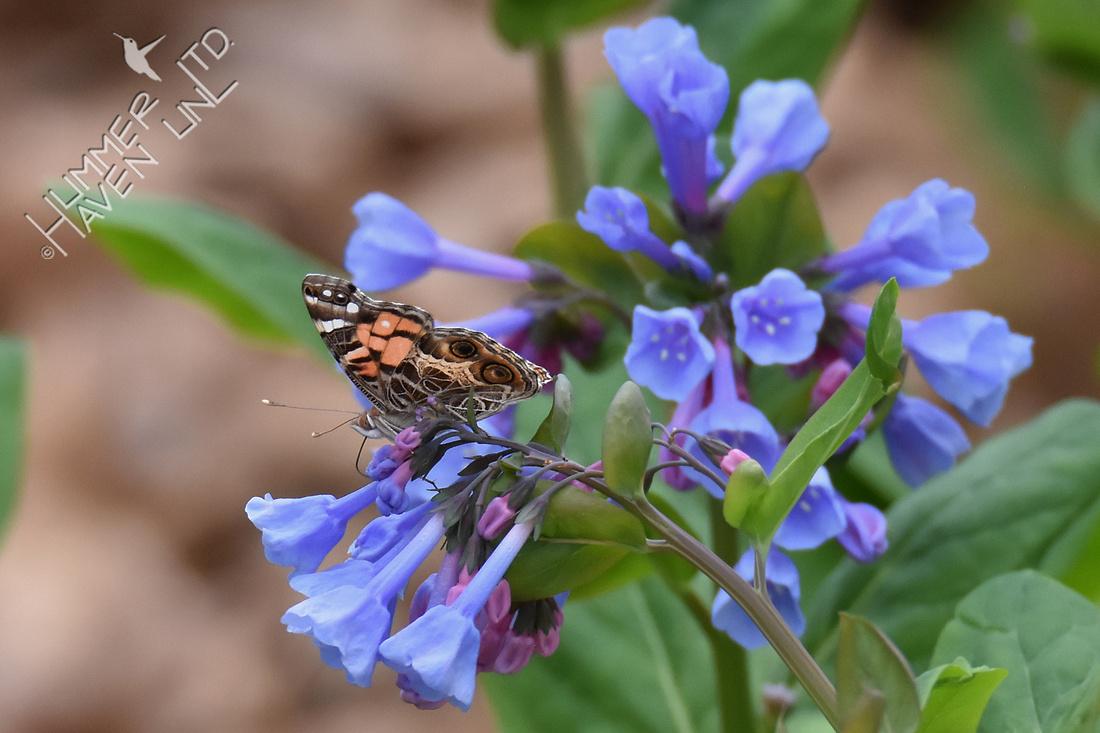 American Lady (rare) on Virginia Bluebells (Mertensia virginica) 4-11-19