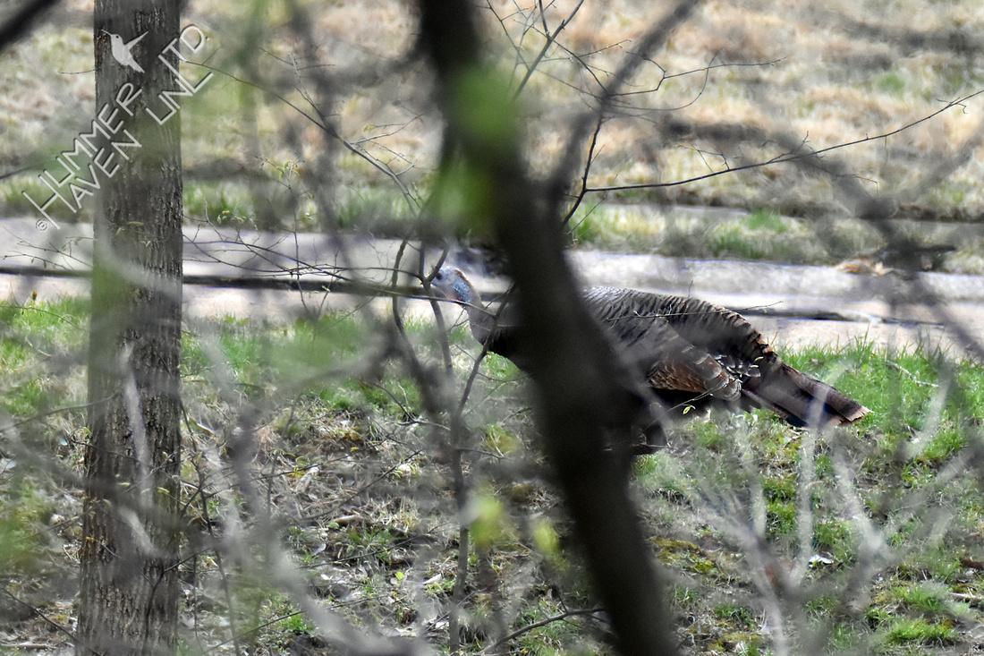 FOY #59 Wild Turkey 4-13-19