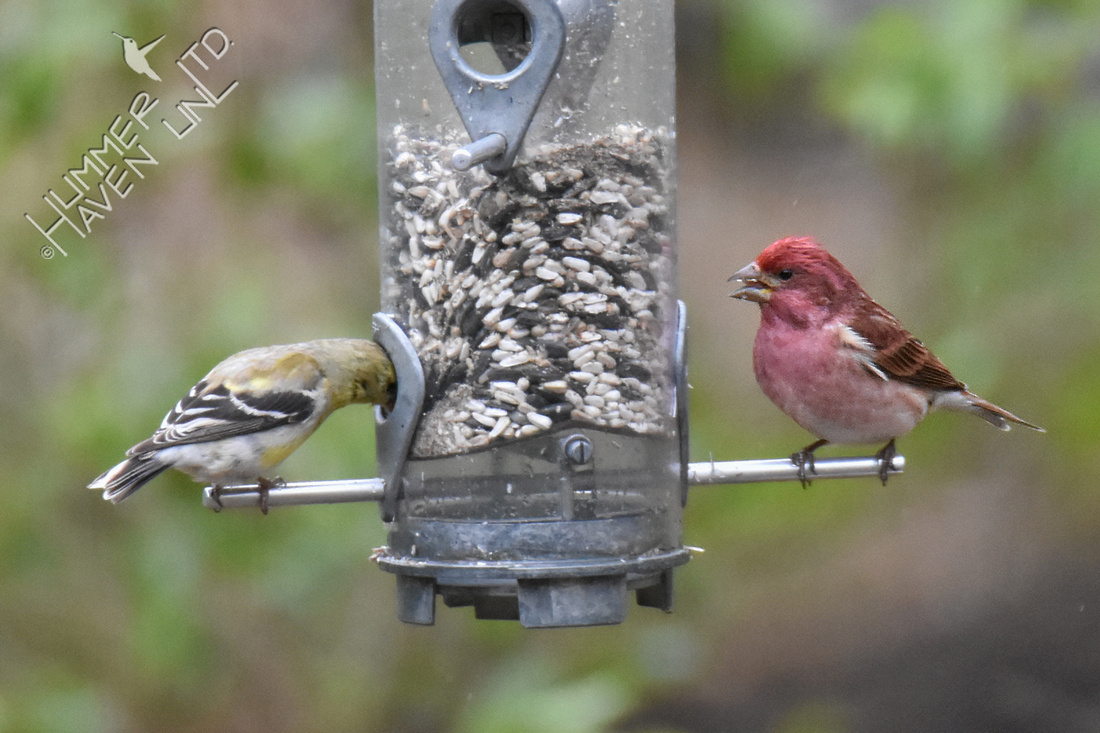 American Goldfinch and Purple Finch 4-14-19