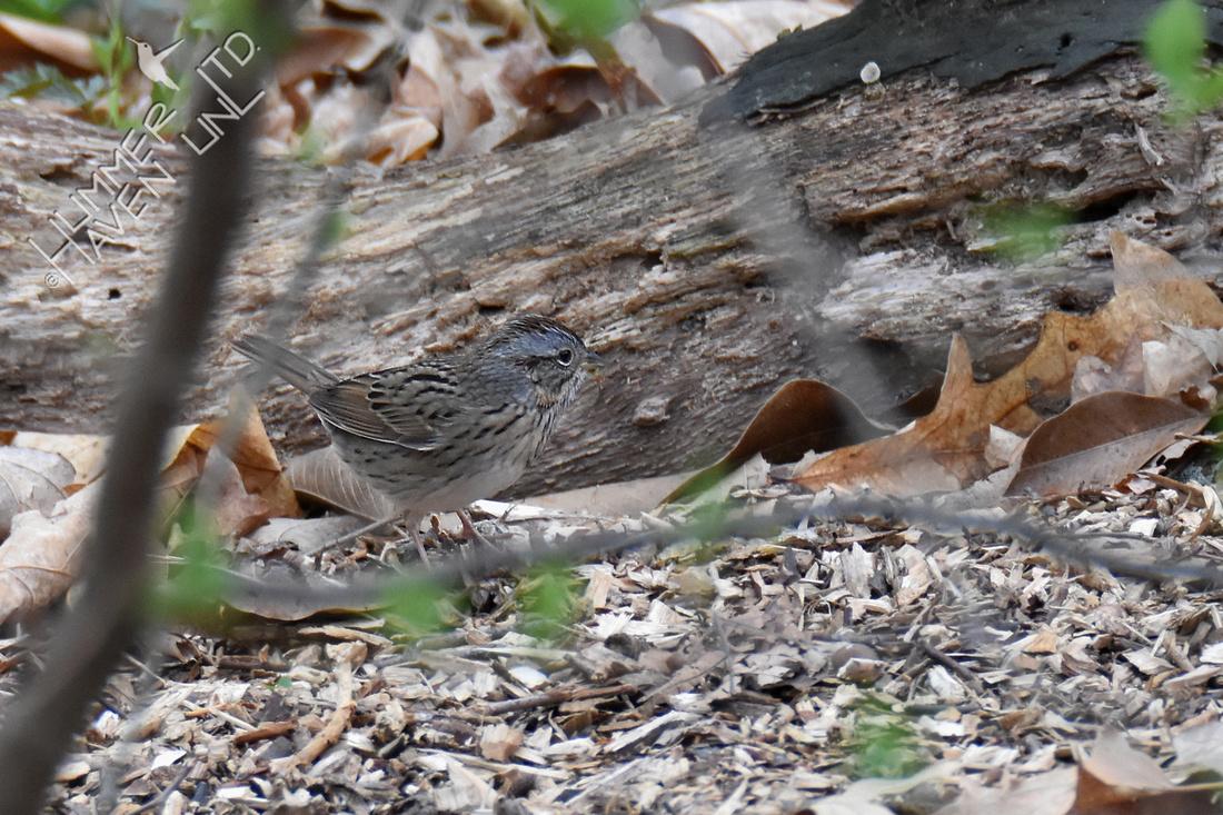 FOY #62 Lincoln's Sparrow 4-17-19