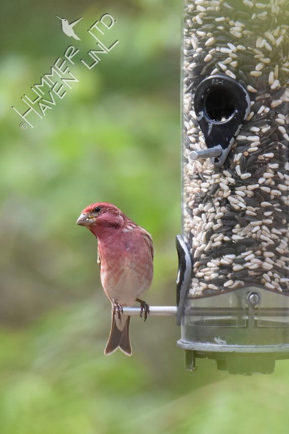 Purple Finch 4-17-19