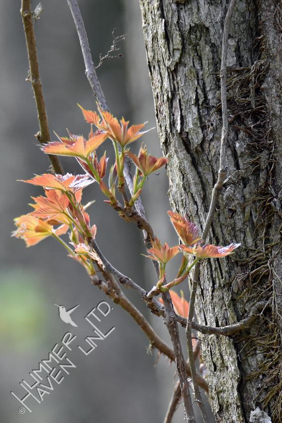 Virginia Creeper (Parthenocissus quinquefolia) 4-17-19