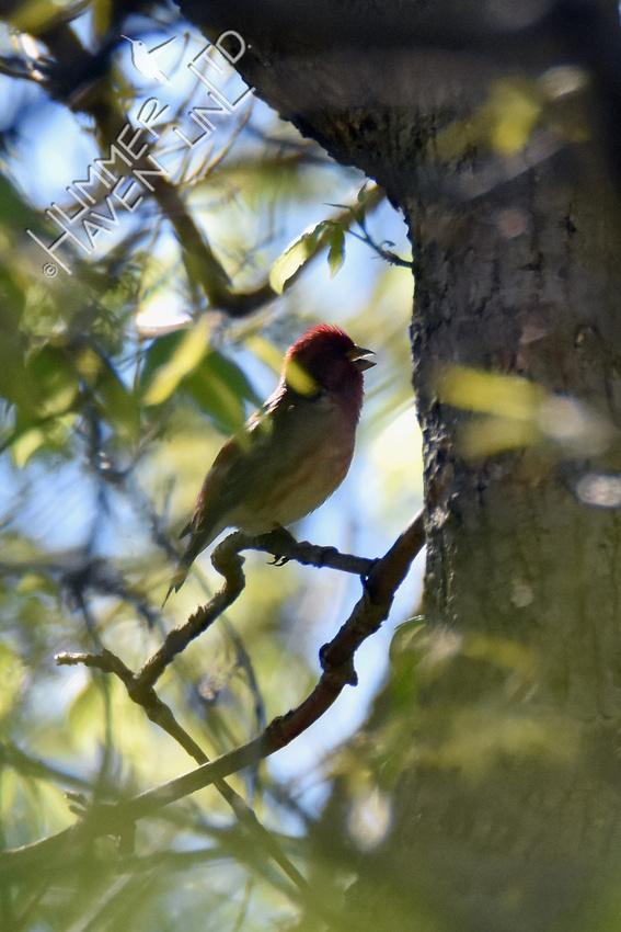Purple Finch singing 4-20-19