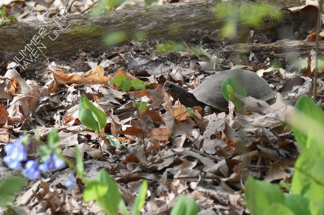 Three-toed Box Turtle 4-22-19