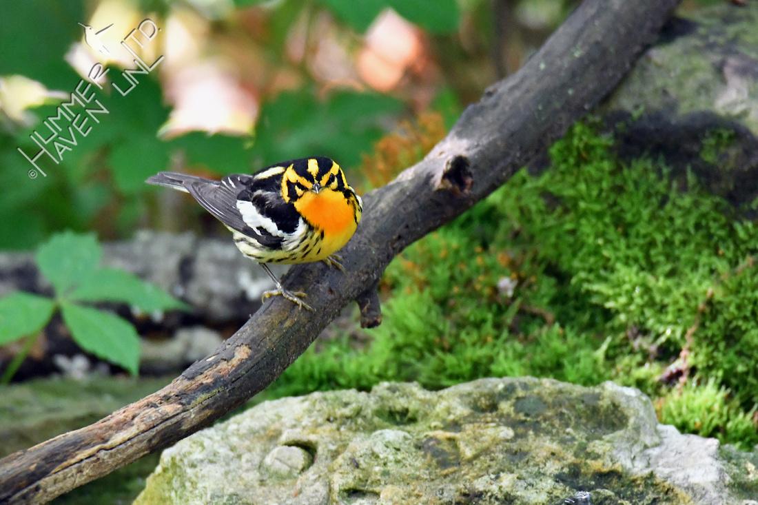 Blackburnian Warbler 5-13-19