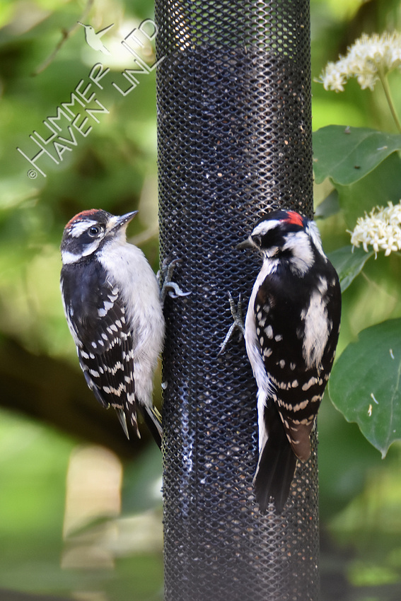 Downy Woodpeckers, juvenile on left, male on right 5-30-19