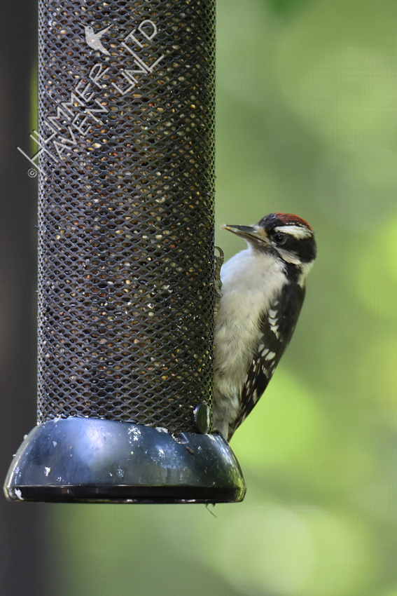 Downy Woodpecker juvenile on its own 6-13-19