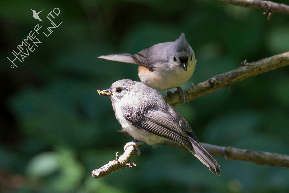 Tufted Titmouse brings insect to fledgling 6-13-19
