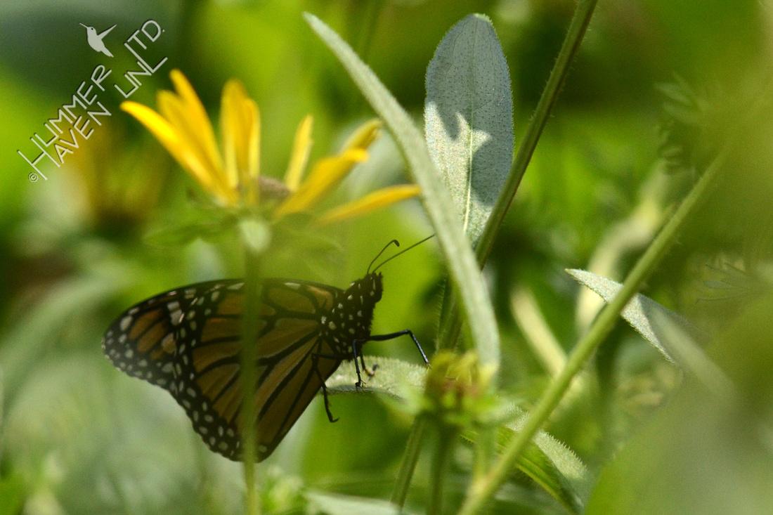 Monarch resting on Black-eyed Susan (Rudbeckia fulgida)