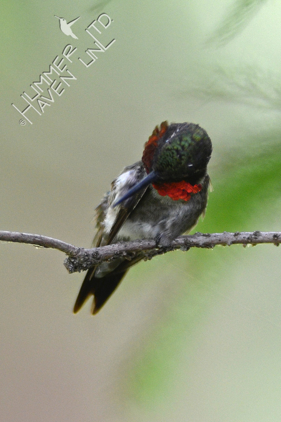 Ruby-throated Hummingbird on Pond cypress branch (Taxodium distichum var. imbricarium)
