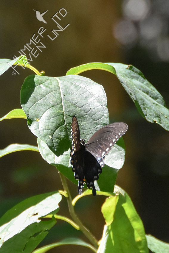 8-4-19 Spicebush Swallowtail  female laying eggs on Spicebush (Lindera benzoin)