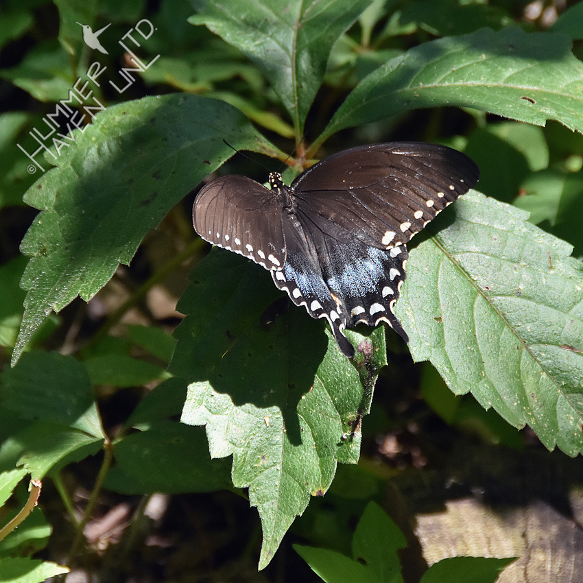 8-4-19 Spicebush Swallowtail female resting on Virginia Creeper (Parthenocissus quinquefolia)