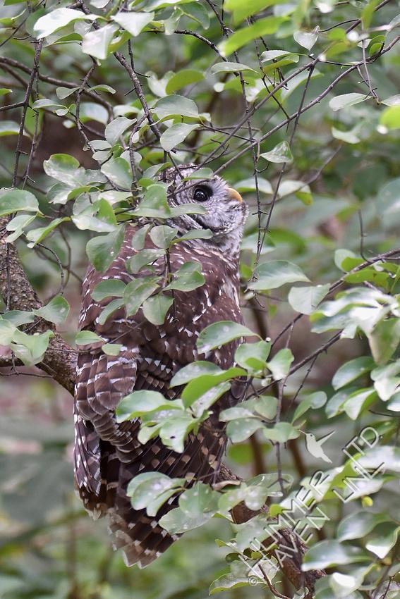 8-5-19 Barred Owl