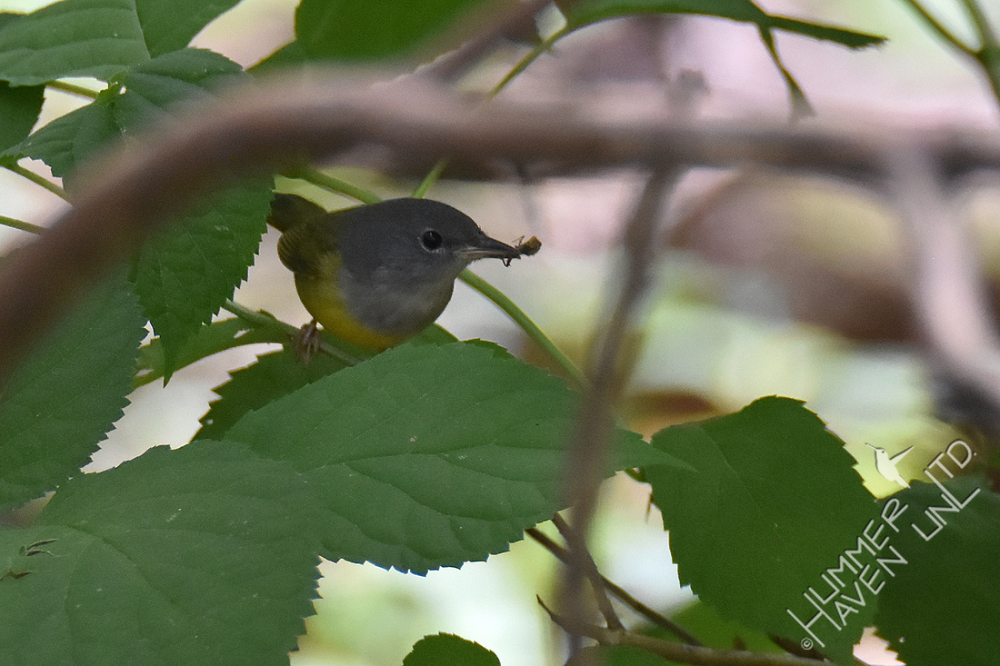 9-1-19 FOY #114  Mourning Warbler female with insect