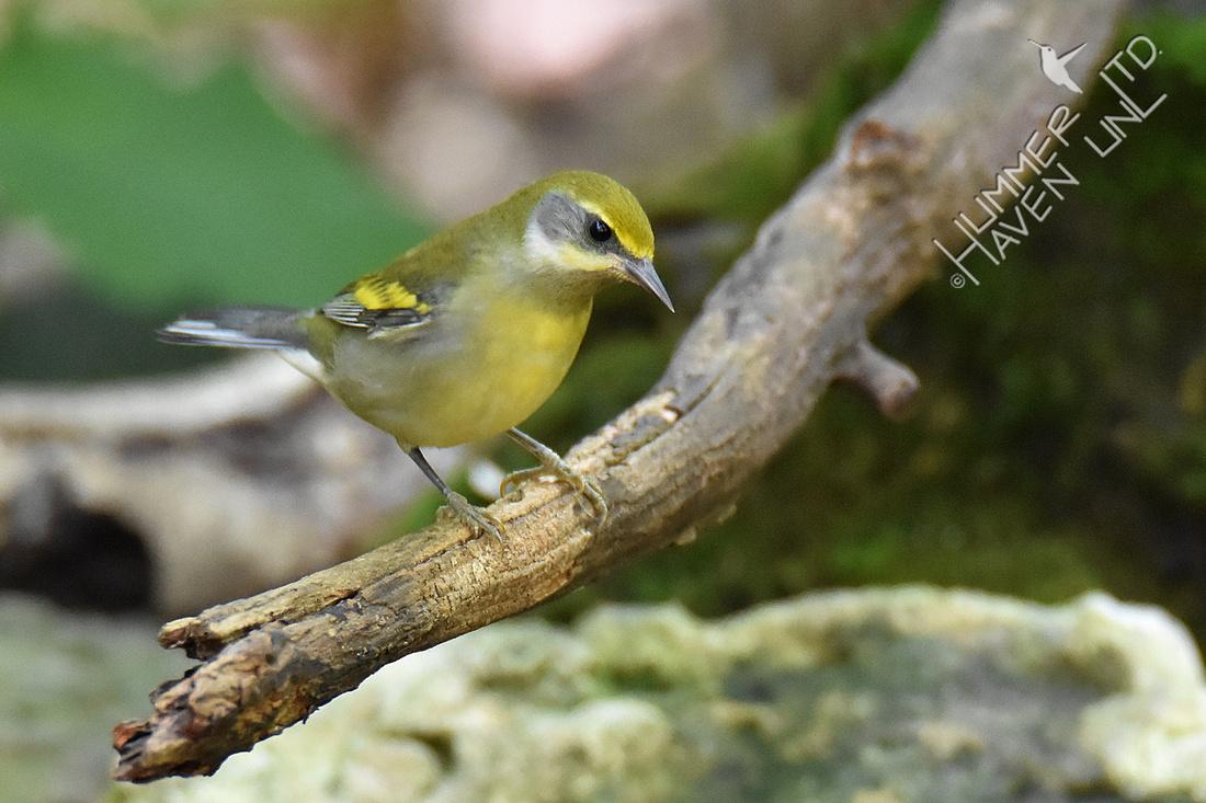 9-4-19 Hybrid- female Lawrence's Warbler
