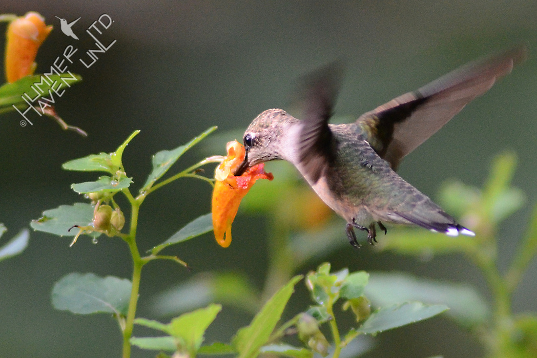 Ruby-throated Hummingbird at Jewelweed (Impatiens capensis)