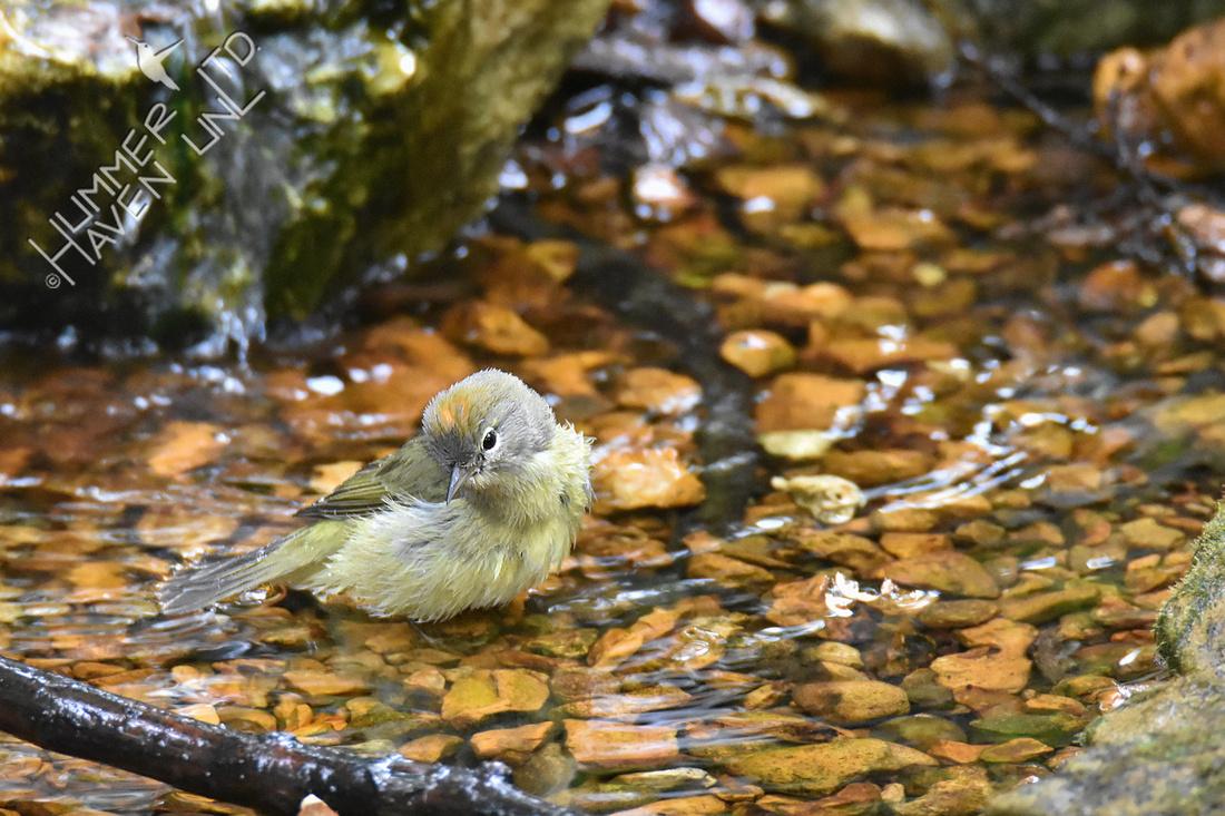 10-15-19 Orange-crowned Warbler