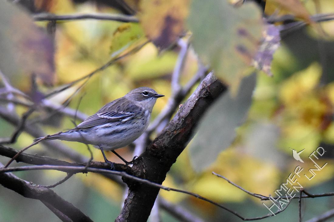 10-27-19 Yellow-rumped Warbler on American Elm (Ulmus americana)