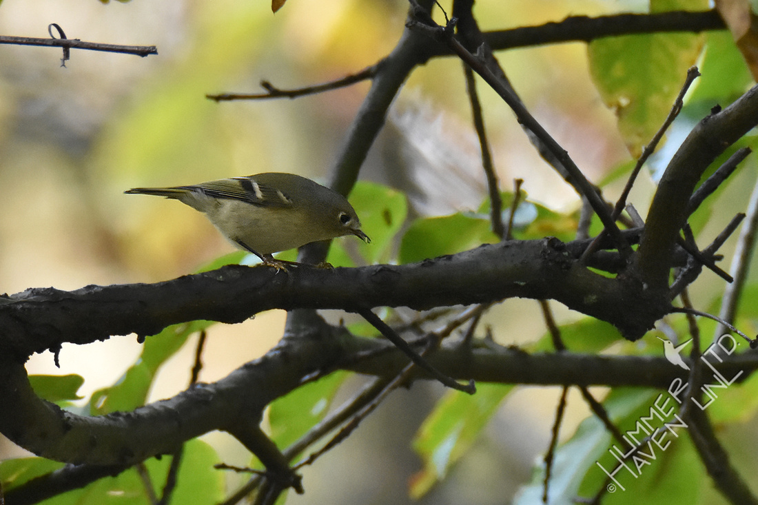 10-27-19 Ruby-crowned Kinglet in Shingle Oak (Quercus imbricaria)