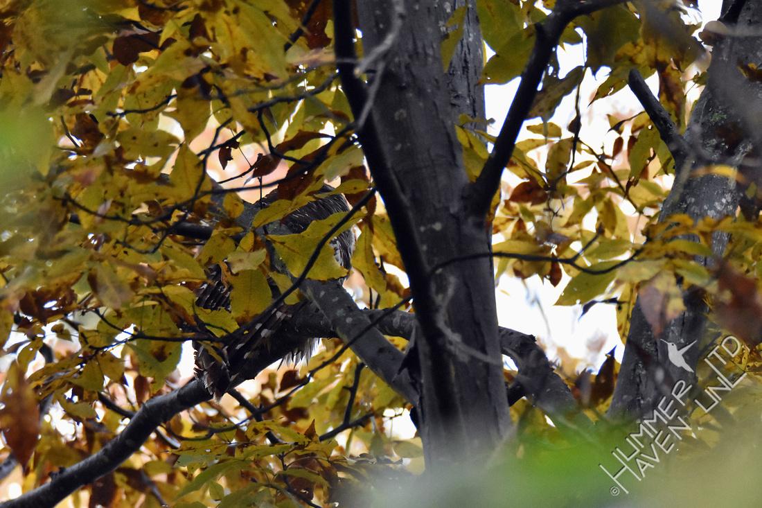 10-30-19 Barred Owl in Shagbark Hickory (Carya ovata)