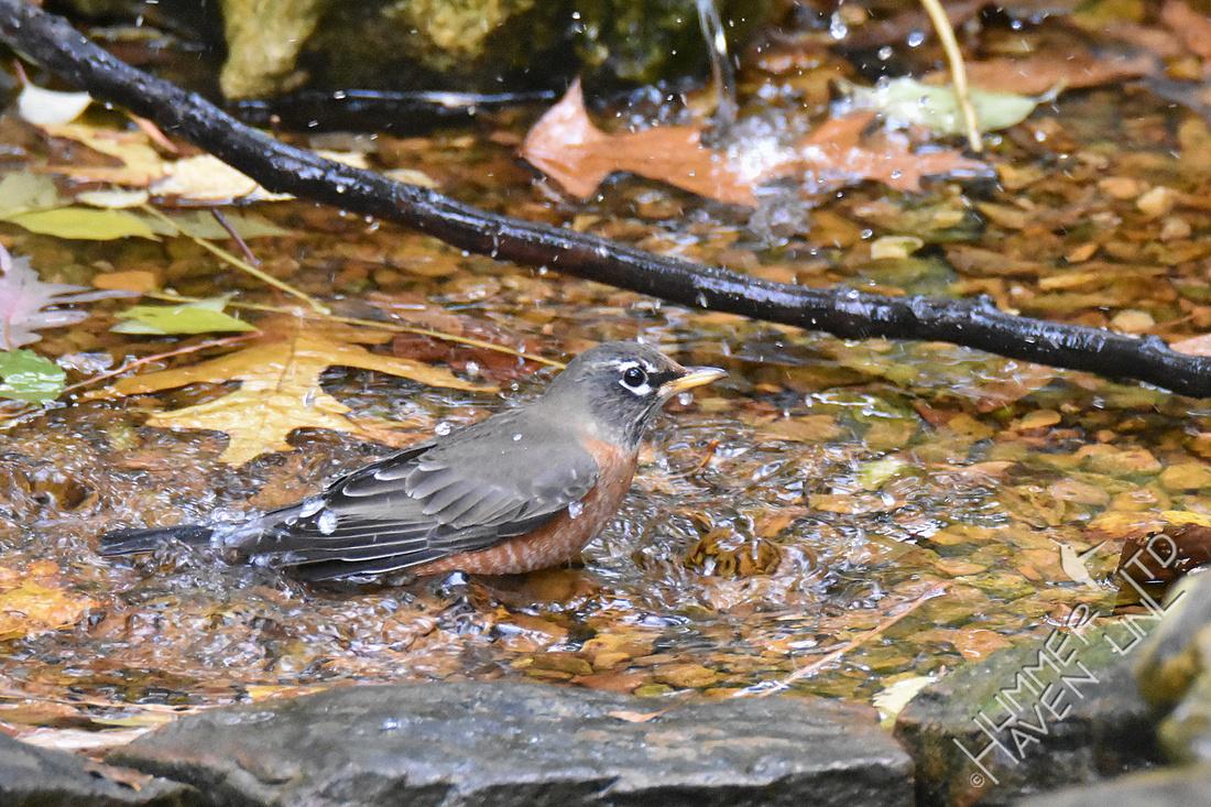 10-31-19 American Robin