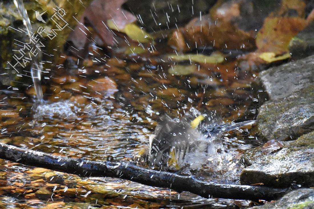 11-2-19 Yellow-rumped Warbler