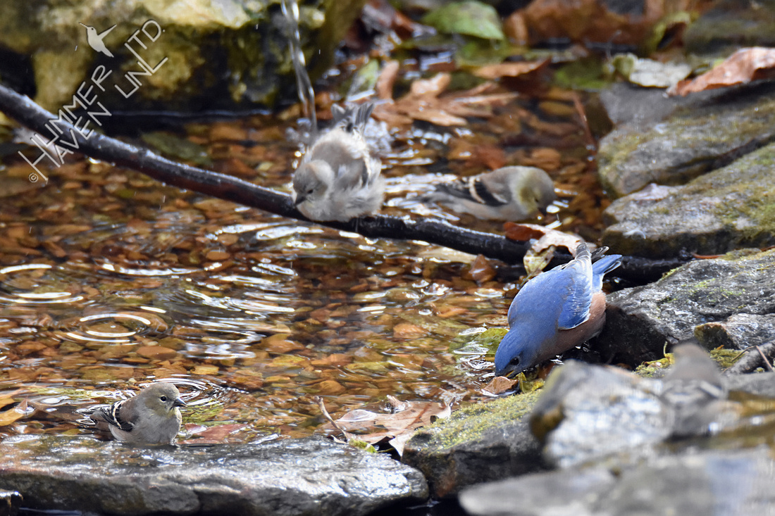 11-9-19 Eastern Bluebird and 4 American Goldfinches
