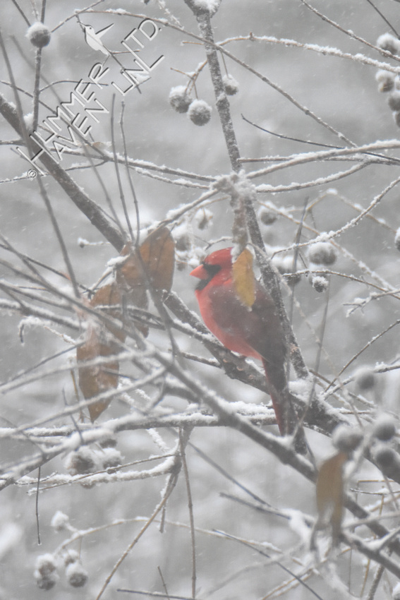 11-11-19 Northern Cardinal in cover of Buttonbush (Cephalanthus occidentalis)
