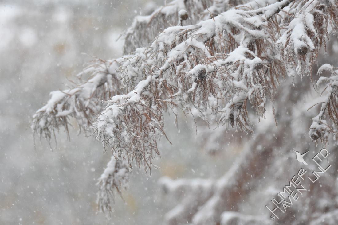 11-11-19 Pond Cypress in snow (Taxodium ascendens)