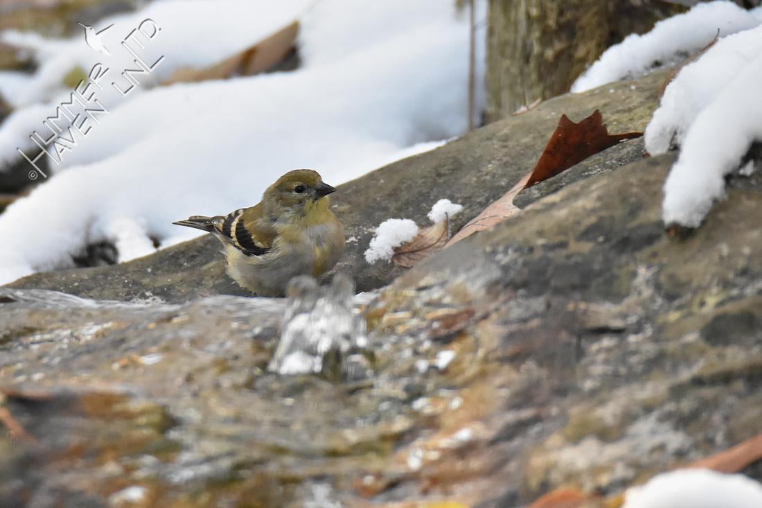 11-12-19 American Goldfinch