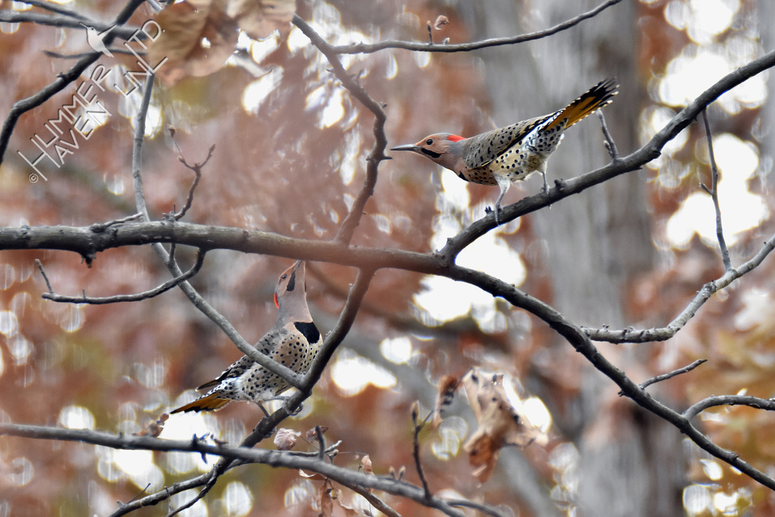 11-18-19 Northern Flickers displaying