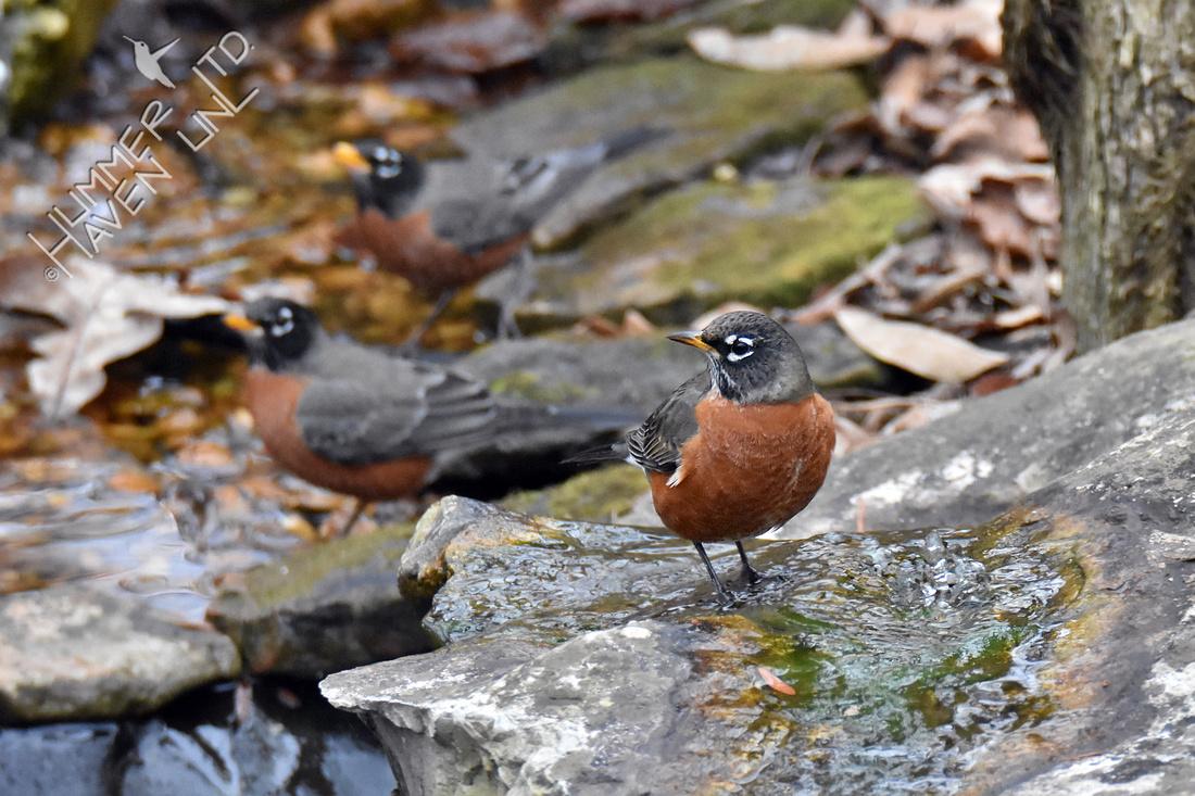 American Robins 12-6-19